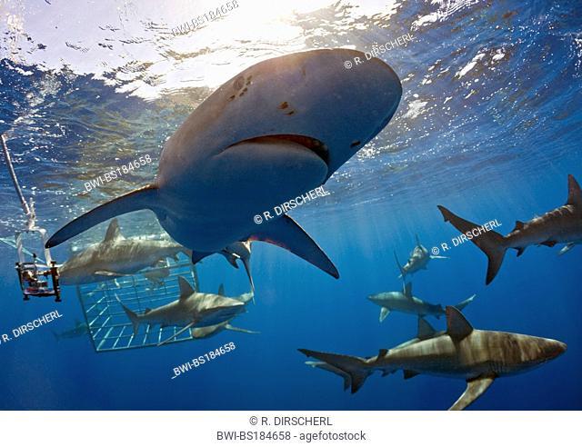Galapagos shark (Carcharhinus galapagensis), group in the sea, USA, Hawaii, Pacific, Oahu