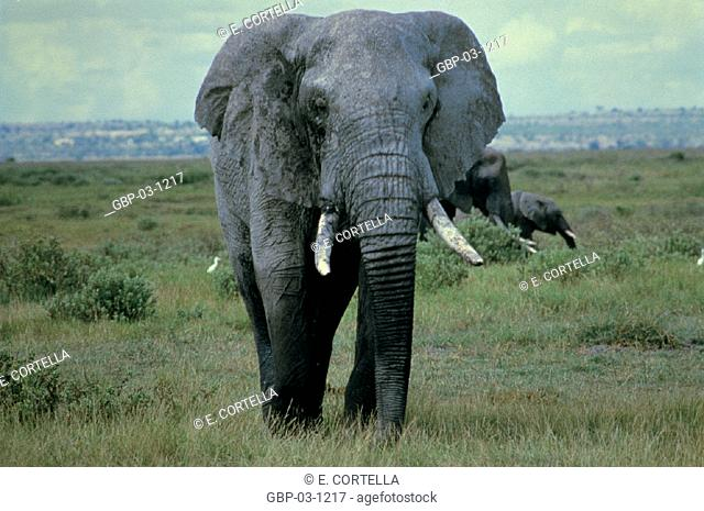 Photo illustrated an animal, large, mammal, herbivore, herd, animal, elephant