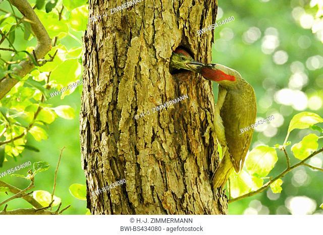 green woodpecker (Picus viridis), feeds chick, Germany, Rhineland-Palatinate
