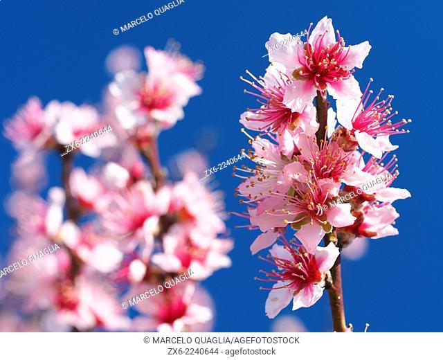 Almond tree branch with flowers. La Galera Village countryside. Montsia Region, Tarragona Province, Catalonia, Spain