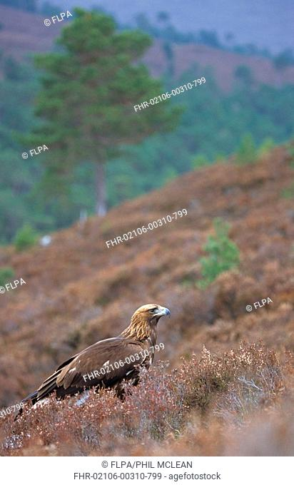 Golden Eagle Aquila chrysaetos adult in habitat, Highlands, Scotland