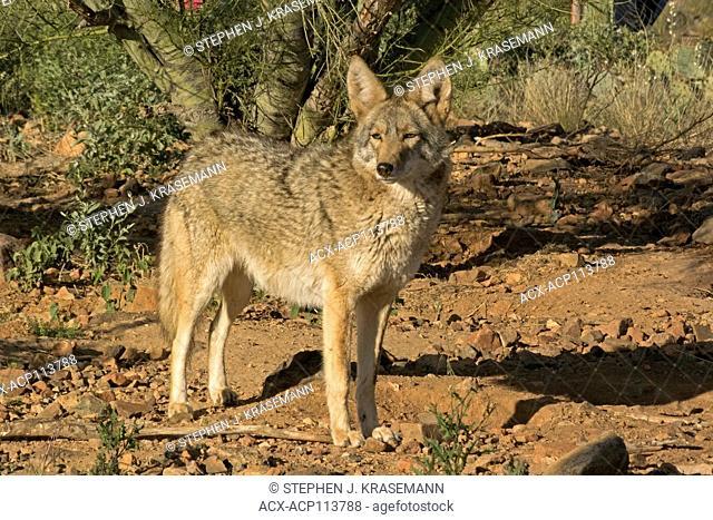 Coyote, Captive, Canis latrans, Arizona Sonoran Desert Museum, Tucson, AZ, USA