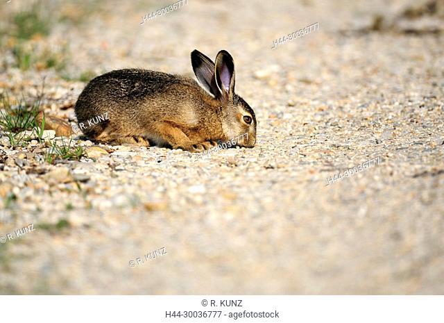 European Hare, Lepus europaeus, Leporidae, Hare, pub, mammal, animal, Seewinkel, Burgenland, Austria