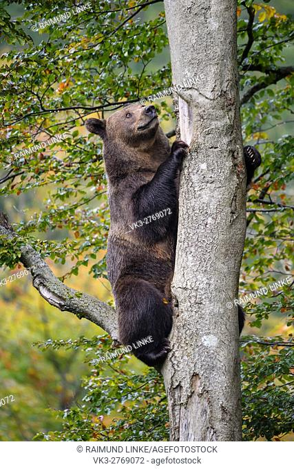Brown Bear, Ursus arctos, Sitting in the tree, Bavaria, Germany