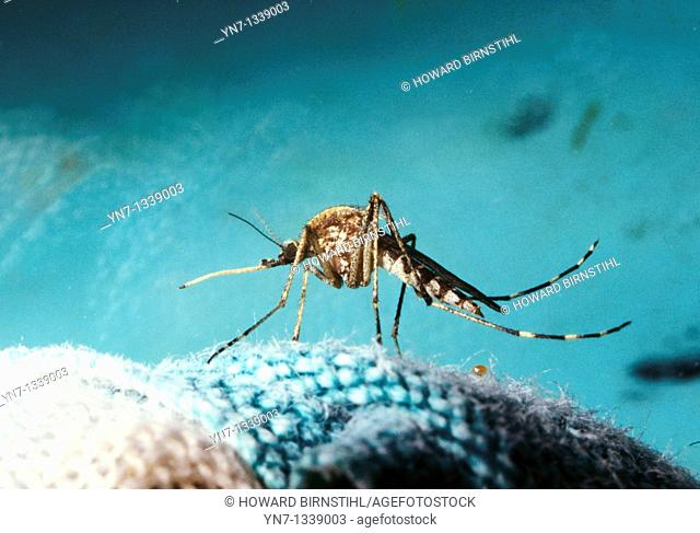 close up of mosquito Choromodic family showing its long proboscus