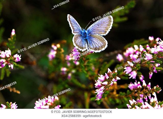 Mariposa Polyommatus Damon en el mes de agosto. Artiga de Lin. Arán. Valle de Arán. Lleida. Cataluña. Pirineo Catalán. España