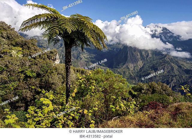 View of Cirque de Salazie from Gite de Bélouve, tree fern (Cyatheales) in front, Réunion, France
