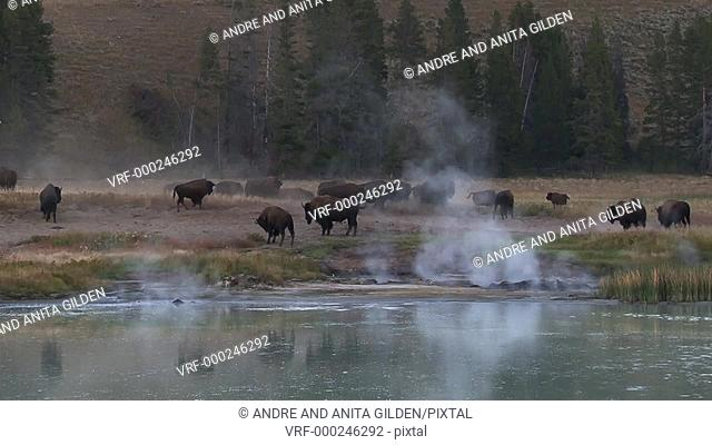 Buffalo (bison bison) grazing around a thermal hotspring, Yellowstone N.P. United States