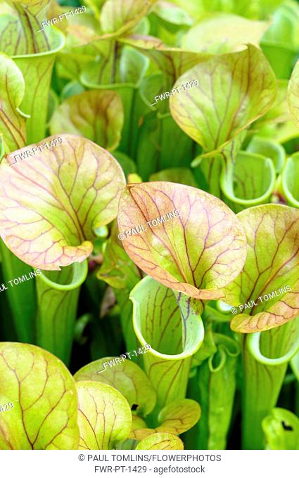 Pitcher plant, Sarracenia, Close up showing open tubes