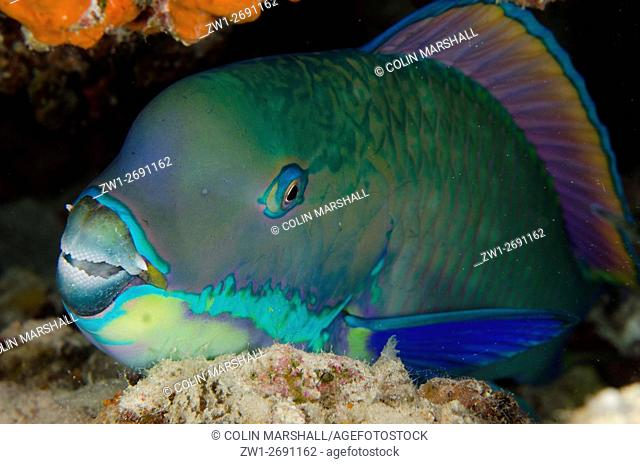 Steephead Parrotfish (Chlorurus microrhinos), Night dive, Barracuda Rock dive site, Fiabacet Island, Misool, Raja Ampat (4 Kings), West Papua, Indonesia