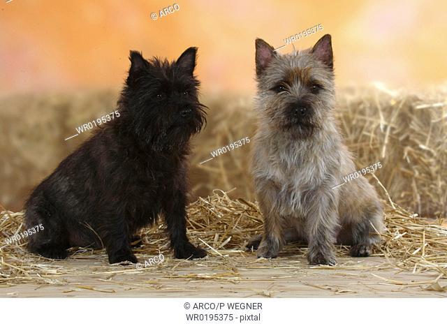 Cairn, Terrier