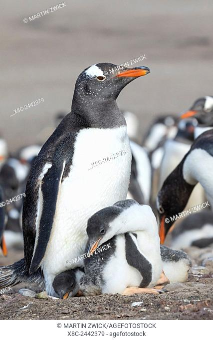 Gentoo Penguin (Pygoscelis papua) on the Falkland Islands, half grown chick with parent. South America, Falkland Islands, January
