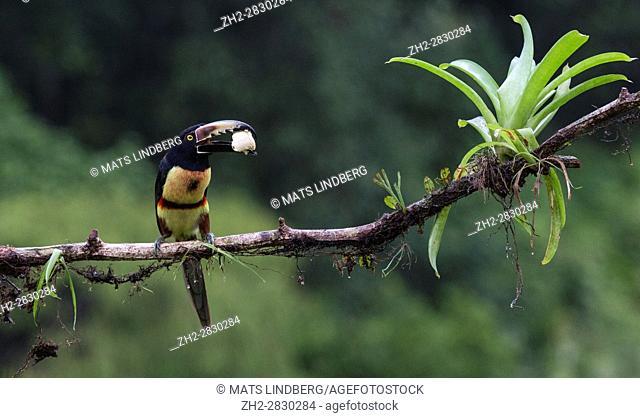 Collared Aracari, Pteroglossus torquatus, sitting in a tree, with banana in the beak, at Laguna del Lagarto, Boca Tapada, San Carlos, Costa Rica