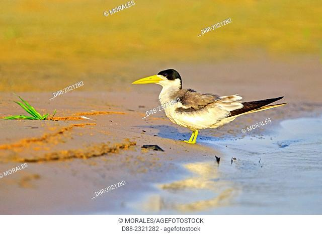 South America,Brazil,Mato Grosso,Pantanal area,Large-billed Tern (Phaetusa simplex)