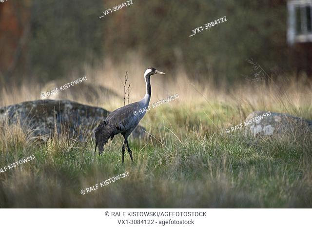 Common Crane ( Grus grus ) adult in beautiful breeding dress, on grassland, typical habitat, surrounding, Sweden