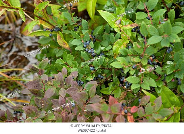 Blueberries, Shinning Rock Wilderness Area, Pisgah Nat  Forest, NC