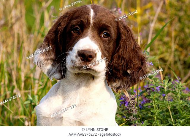 English springer spaniel puppy wooden Stock Photos and