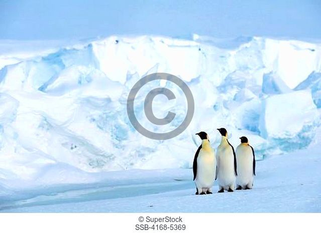 antarctica, riiser-larsen ice shelf, emperor penguins on fast ice, iceberg background