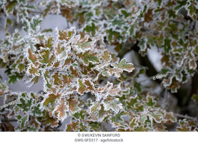 QUERCUS ROBUR FROZEN LEAVES WITH HOAR FROST