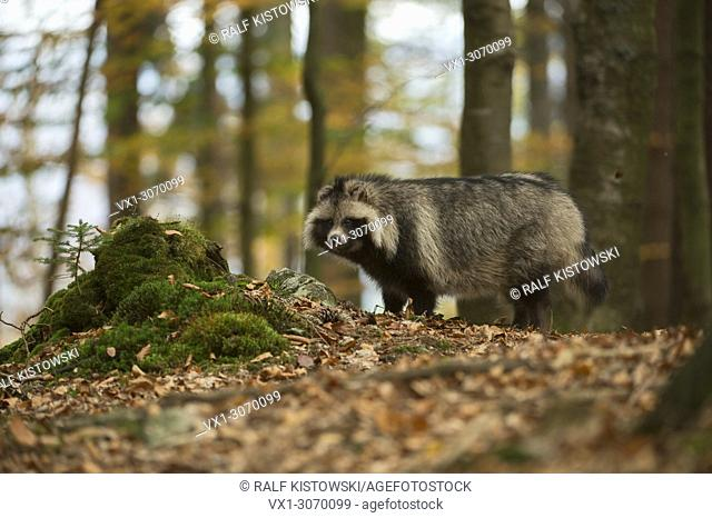 Raccoon dog (Nyctereutes procyonoides) in autumn forest, invasive species, Germany, Europe
