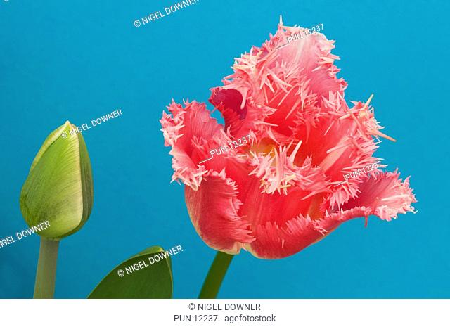 Close-up abstract of a single bright pink fringed tulip flower set against a blue background in a Norfolk garden