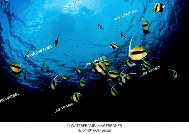 Red Sea Bannerfish (Heniochus intermedius), Red Sea, Djibouti, Africa