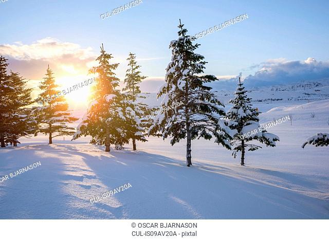 The sun shining through snow covered trees, Hveragerdi, Iceland