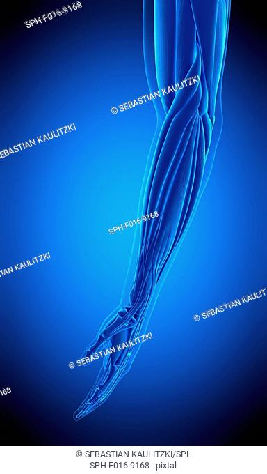 Illustration of the human arm muscles muscle