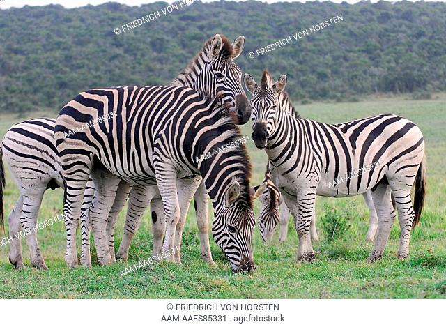 Burchell's Zebra in Addo Elephant National Park, South Africa