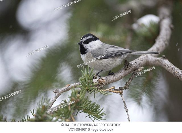 Mountain chickadee ( Parus gambel ) in winter, perching in a snow covered conifer tree, nice side view, Yellowstone Area, Wyoming, USA