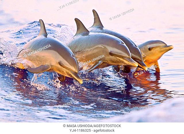 pantropical spotted dolphins, Stenella attenuata, juveniles and baby, doing synchronized jumping out of boat wake at senset, Kona, Big Island, Hawaii, USA
