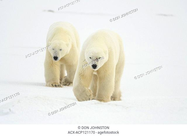 Polar Bear (Ursus maritimus) Sparring pair