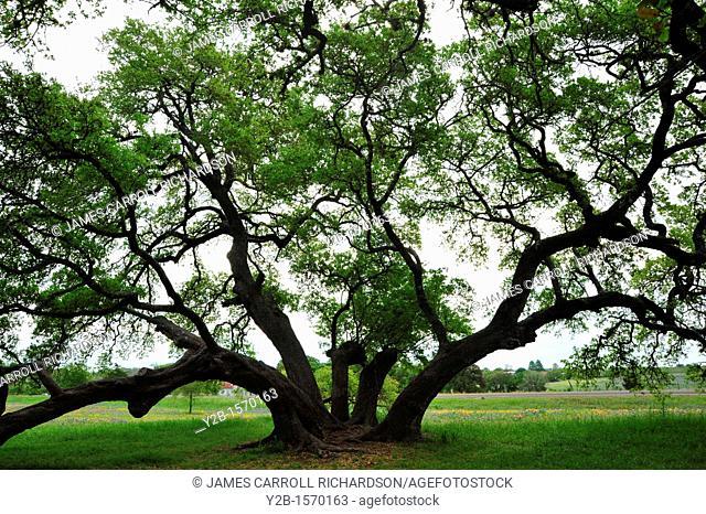 Tree in field, Washington County, Texas Hill Country, Texas, USA