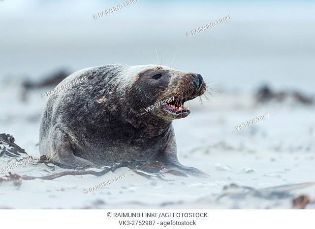 Grey Seal, Halichoerus grypus, Male, Europe