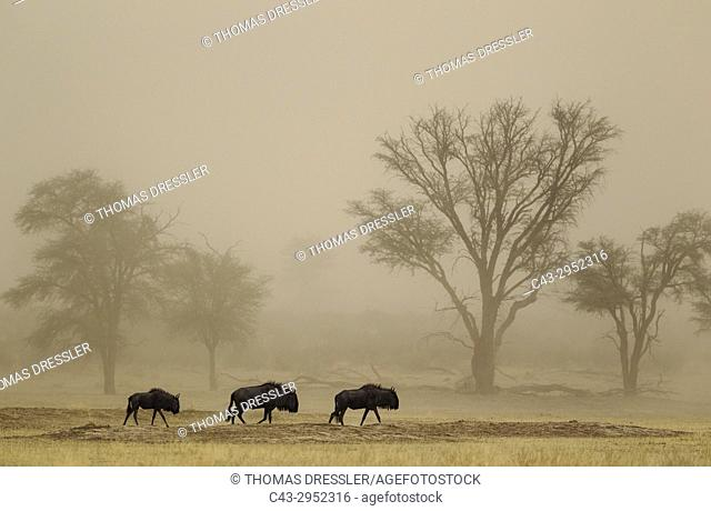 Blue Wildebeest (Connochaetes taurinus). Roaming in a sandstorm in the dry Nossob riverbed with camelthorn trees (Acacia erioloba) in the background