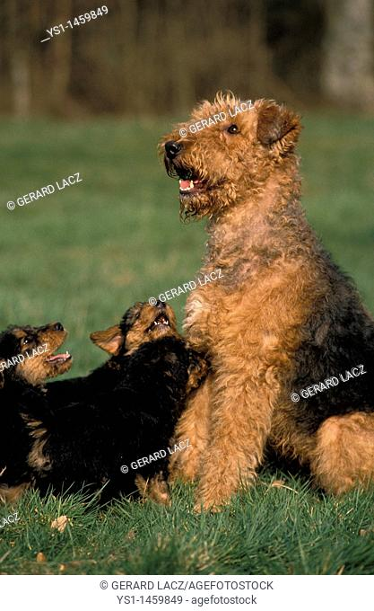AIREDALE TERRIER DOG, FEMALE WITH PUPS