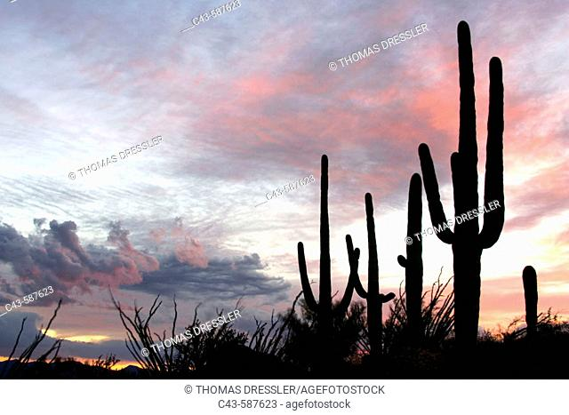 Giant Saguaro (Carnegiea gigantea) - Symbol of the American Southwest and indicator of the Sonoran Desert. At dusk. Saguaro National Park (western section)