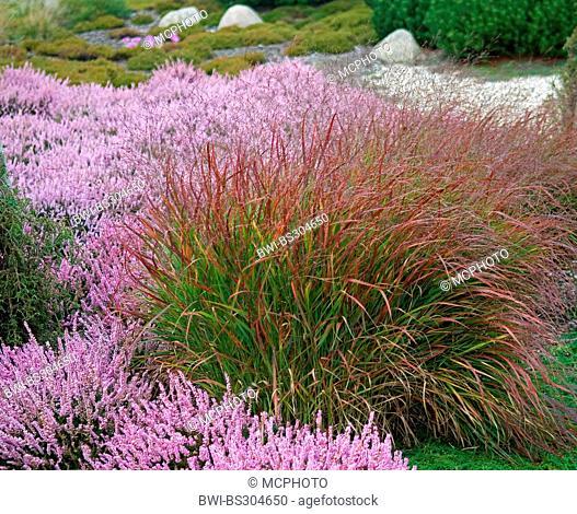 Old switch panic grass (Panicum virgatum 'Rotstrahlbusch', Panicum virgatum Rotstrahlbusch), cultivar Rotstrahlbusch with blooming heath