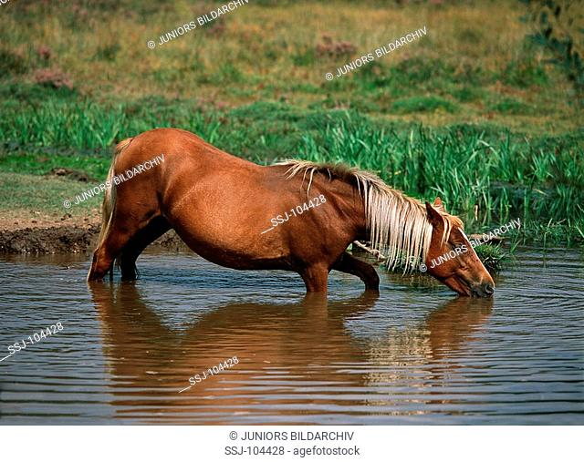 pony standing in water - drinking