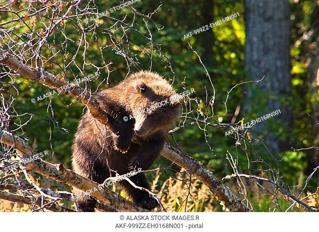 Brown bear cub playing on a tree branch at the Russian River, Kenai Peninsula, Southcentral Alaska, Summer