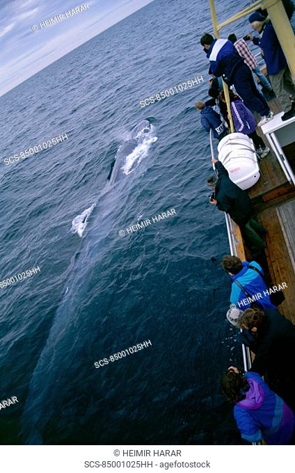 Whale-watchers leaning over a Fin whale Balaenoptera physalus as it surfaces 2 of 2 images Husavik, Iceland