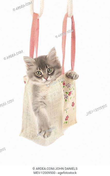 CAT. Tiffannie kitten in a little bag