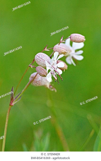 bladder campion, maiden's tears (Silene vulgaris), flowers, Denmark, Juetland
