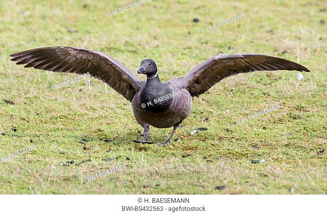 brent goose (Branta bernicla), landing in a meadow, Germany, Schleswig-Holstein, Northern Frisia, Hallig Hooge