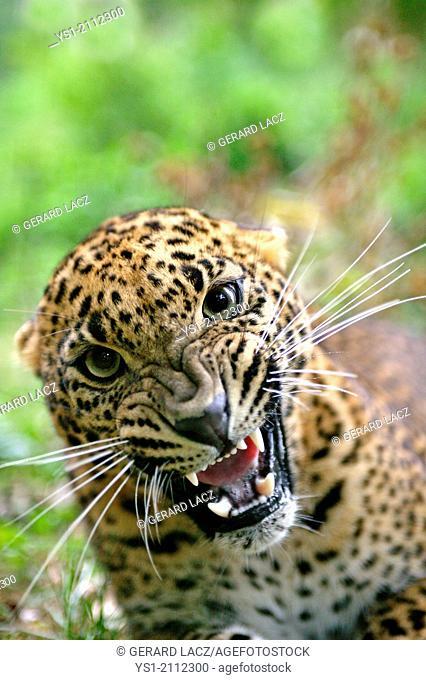 Sri Lankan Leopard, panthera pardus kotiya, Snarling, Defensive Posture