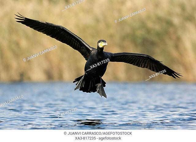 Great cormorant , Phalacrocorax carbo , landing on lagoon