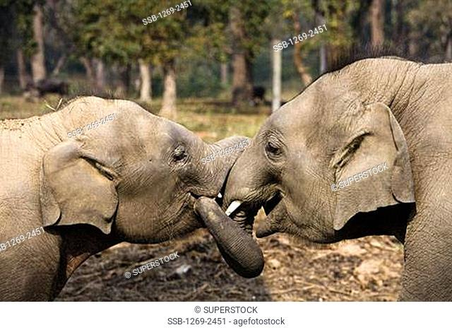 Two Indian elephants Elephus maximus in a forest, Royal Chitwan National Park, Nepal