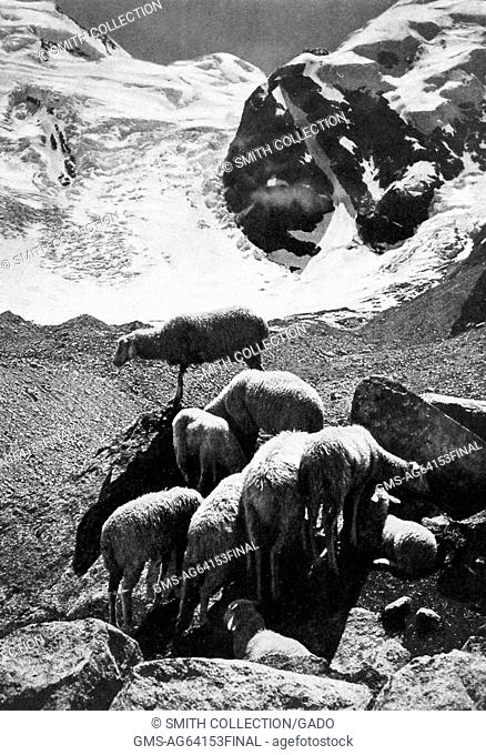 Sheep in a peaceful pasture under the shelter of the Bernina Mountains, Switzerland, 1922
