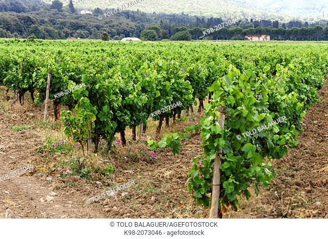 Vineyards (Vignoble du Languedoc-Rousillon), Pyrenees-Orientales, France