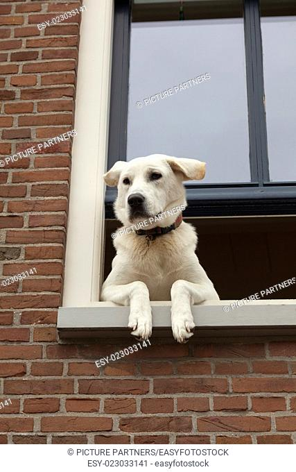 Curious looking dog hanging out the window
